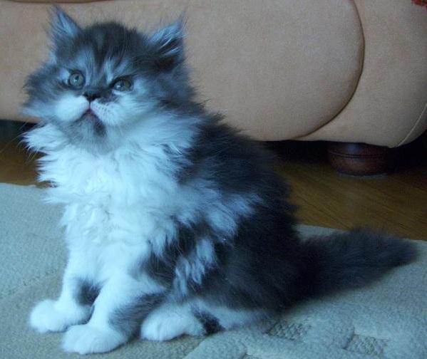 Pui de pisica persana de vanzare - Baiat